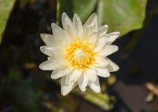 Lotus blanc Photos libres de droits