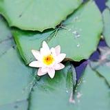 Lotus blanc Photos stock