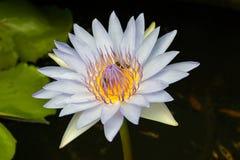Lotus blanc avec l'abeille Images stock