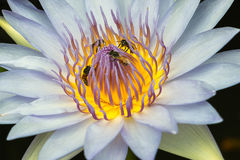 Lotus blanc avec l'abeille Image stock