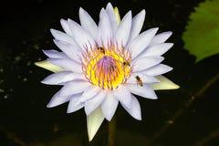 Lotus blanc avec l'abeille Photo libre de droits