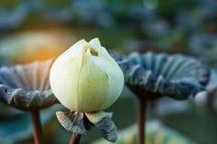 Lotus blanc avec la lumière du soleil Images libres de droits