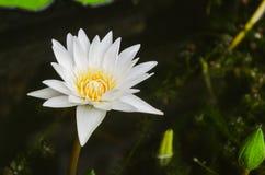 Lotus blanc de floraison Photographie stock