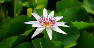 Lotus blanc de Nymphaea Photographie stock
