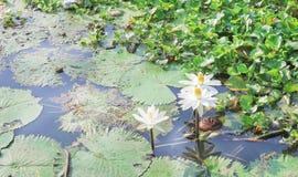 Lotus blanc de Nymphaea avec le groupe jaune de pollen fleurissant avec le modèle de feuille en rivière images stock