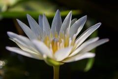 Lotus blanc et fond noir photographie stock