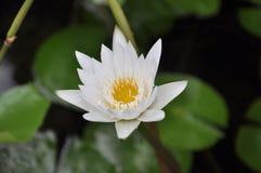 Lotus blanc a fleuri dans l'étang, plan rapproché Photo stock