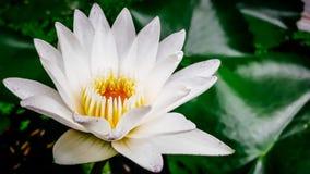 Lotus blanc, pollen jaune Photographie stock