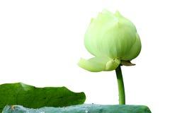 Lotus blanc sur les milieux blancs. Photos stock