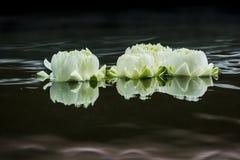 Lotus blanco Imagenes de archivo