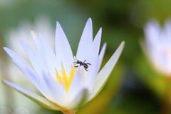 Lotus blanco amarillo y hoja en la charca de agua Imagenes de archivo