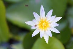 Lotus blanco amarillo y hoja en la charca de agua Foto de archivo