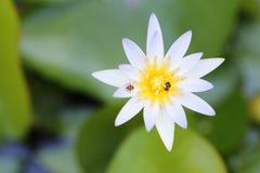 Lotus blanco amarillo y hoja en la charca de agua Fotografía de archivo