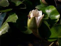 Lotus blanco con la abeja Imagen de archivo libre de regalías