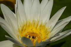 Lotus blanco, estambre amarillo con la abeja Foto de archivo