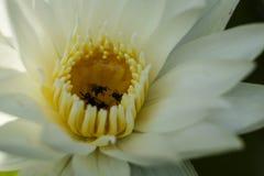 Lotus blanco, estambre amarillo con la abeja Fotografía de archivo