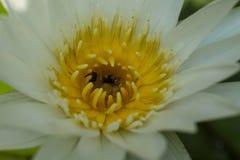 Lotus blanco, estambre amarillo con la abeja Imagen de archivo libre de regalías