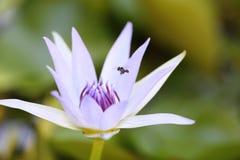 Lotus blanco púrpura y hoja en la charca de agua Imagenes de archivo