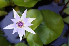 Lotus blanco púrpura y hoja en la charca de agua Foto de archivo libre de regalías