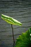 Lotus-Blatt Stockfotografie