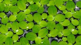 Lotus-Blatt stockfoto