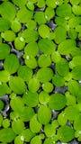 Lotus-Blatt stockbild