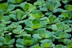 Lotus-Blatt im Topfblatt Lizenzfreie Stockfotografie