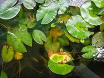 Lotus-Blatt klein im Teich Lizenzfreie Stockbilder