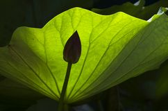 Lotus-Blatt und -knospe lizenzfreies stockfoto