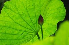 Lotus-Blatt und -knospe stockbilder