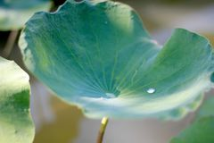 Lotus, Blattlotos lizenzfreie stockbilder