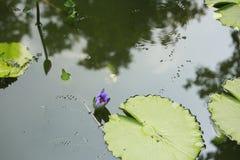 Lotus-blauw Stock Foto's