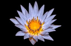 Lotus bleu Image libre de droits