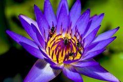 Lotus bleu Photos libres de droits