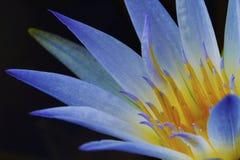 Lotus bleu de l'Egypte (Nymphaea Caerulea) Photo libre de droits