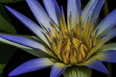 Lotus bleu de l'Egypte (Nymphaea Caerulea) Photo stock
