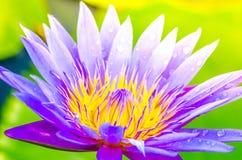 Lotus bleu sur l'étang Image libre de droits