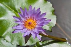 Lotus bleu sur l'étang Photographie stock