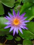 Lotus bleu sur l'étang, lotus bleu avec les feuilles vertes dans l'étang photographie stock