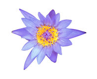 Lotus bleu sur le fond blanc Photographie stock