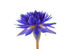 Lotus bleu sur le fond blanc Photos stock