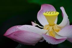 Lotus-bloei Stock Fotografie