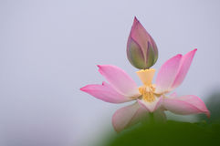 Lotus-bloei Royalty-vrije Stock Afbeeldingen
