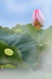 Lotus-bloei Royalty-vrije Stock Foto's