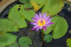 Lotus-bloei Stock Foto's