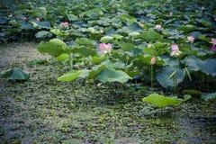 Lotus-bloei in de zomer stock fotografie
