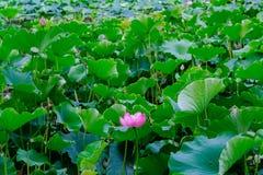 Lotus bloeit en gaat in Groen Meerpark weg in Kunming van de binnenstad, China stock foto