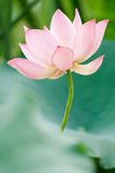 Lotus-bloem Royalty-vrije Stock Fotografie