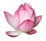 Lotus-bloem stock afbeelding
