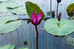Lotus-bloem Stock Foto's
